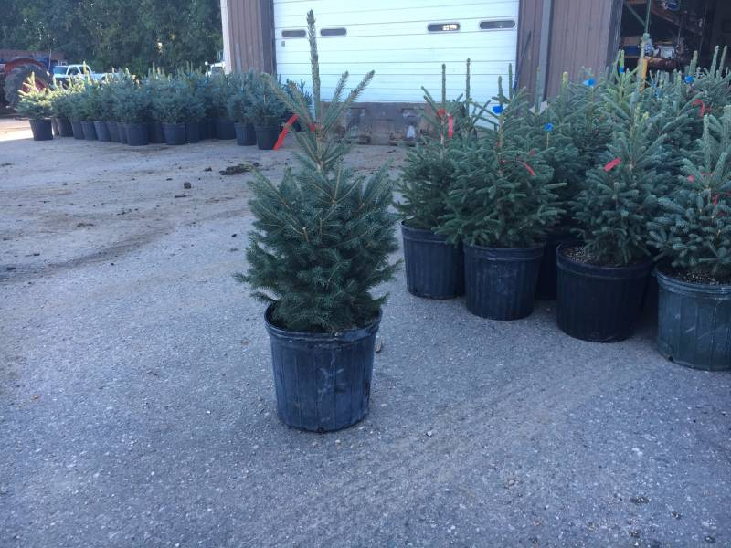 1 Black Hills Spruce Tree Potted Le Nursery Stock 24 K Bid