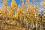 7 ft. Quaking Aspen