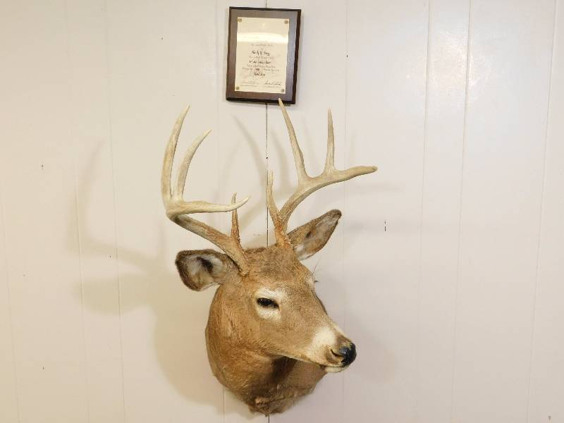 8-Point Whitetail Deer Shoulder Mount | Taxidermy Mounts