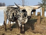 PURE-BREED TEXAS LONGHORN STEER  (Please Read ALL Auction Details / Terms & Conditions)
