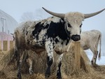 PURE-BREED TEXAS LONGHORN BULL  (Please Read ALL Auction Details / Terms & Conditions)