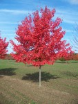 Northwoods Red Maple Tree