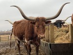 Purebred Texas Longhorn Cow---Possibly Pregnant