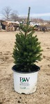 (1) Potted Black Hills Spruce Tree