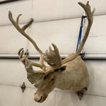 In-Velvet Caribou Mount