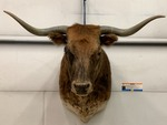 Texas Longhorn Cattle Mount