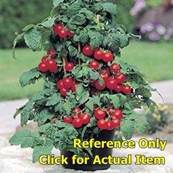 Patio Princess Tomato Plants Lot Of 4 Plants Trees Bushes