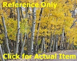 8 ft. Quaking Aspen