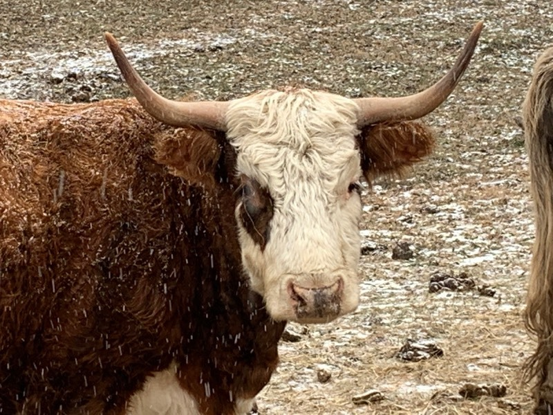Hereford / Scottish-Highland Cross Breed Cow
