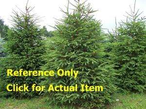 2.5 - 3 ft. White Spruce, lot of 2