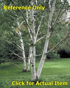 8-10 ft. White Paper Birch clump