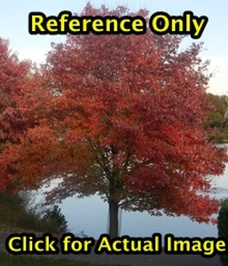 1.5 - 2 ft. Autumn Blaze Maple