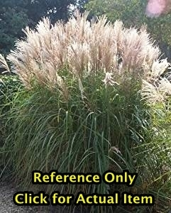 2 gallon Pampas Grass