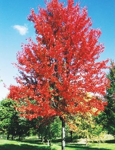 (1) Autumn Blaze  Maple Tree --- Ba...