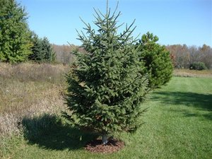 (1) Black Hills Spruce Tree --- Bal...