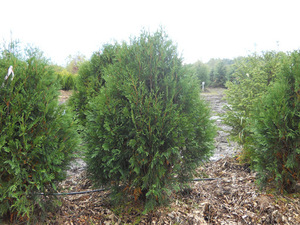 (1) Techny Arborvitae  --- Ball & B...