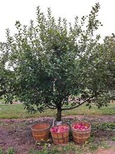 (1) Harlson Apple Tree --- Ball & B...