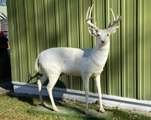 UNUSUAL FIND ! White DOE Deer with Antler Rack