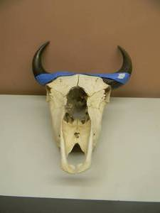 AWESOME - Vintage Steer Skull Mount, Cow, Bull Taxidermy W/Horns - READY TO HANG IN THE CAVE! - SEE PICTURES!