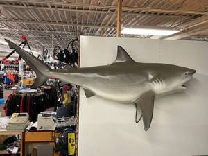 Beautiful Cancun Mexico 8 Foot Bull Shark Mount Taxidermy