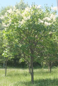 Japanese Lilac Tree Clump